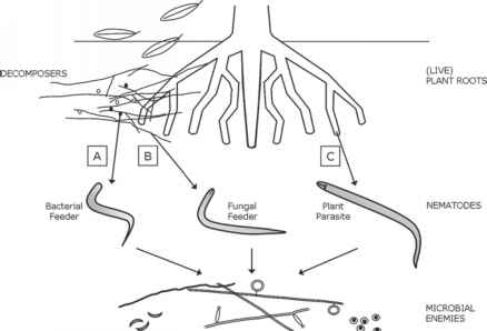 Nematodes Named Diagram