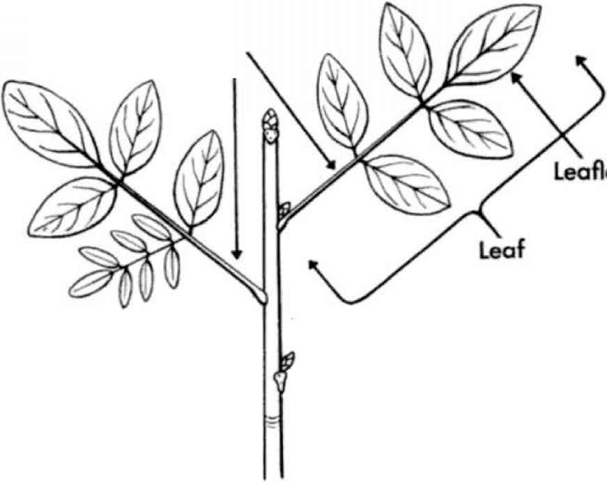 Alternate Compound Leaves