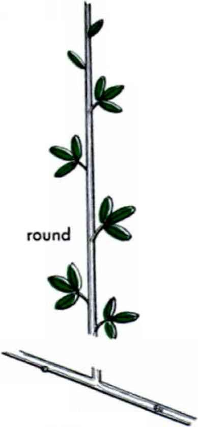 Alternating Thin Compound Leaves