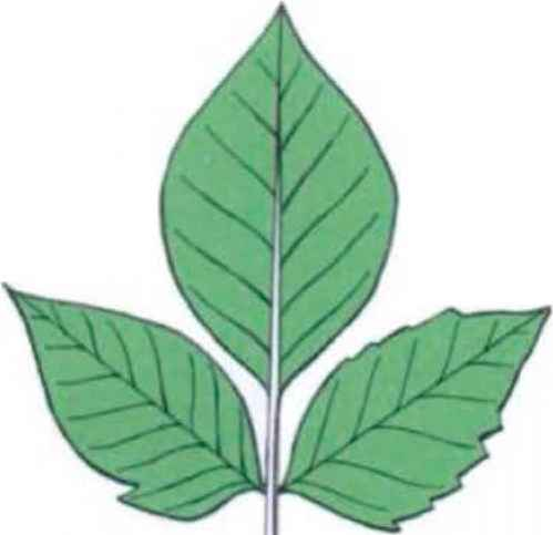 Compund Alternate Tree Leaf