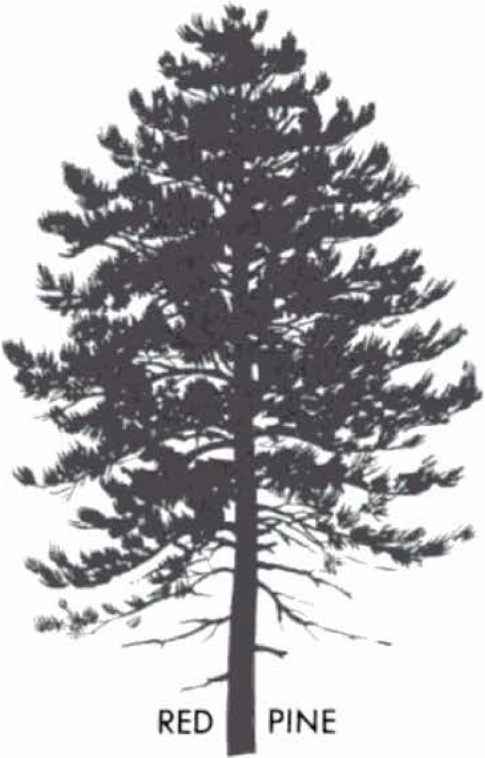 Loblolly Pine Silhouettes