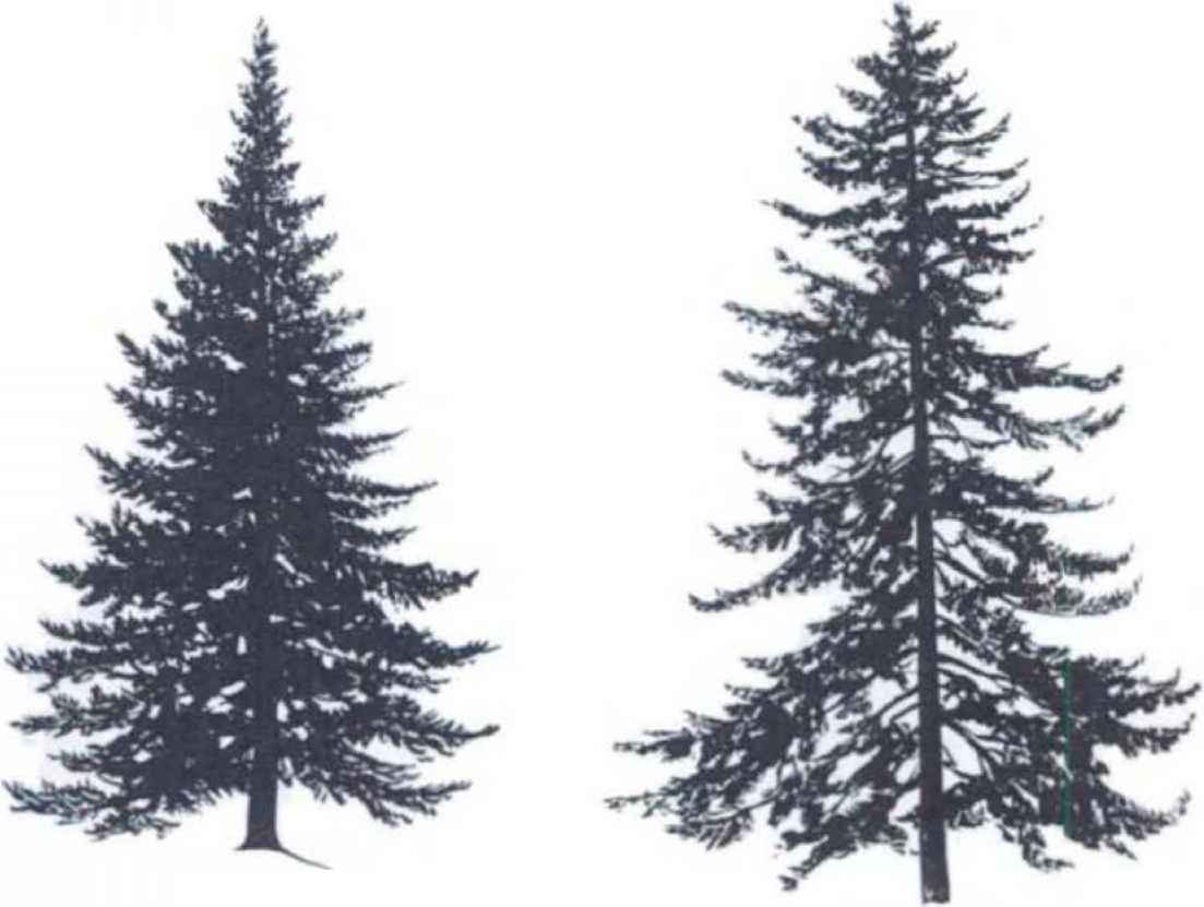 Spruce Tree Silhouette