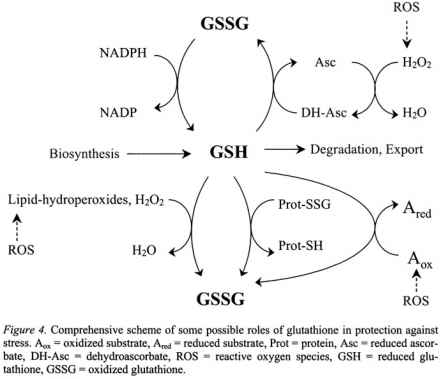Gsh Ascorbate Cycle