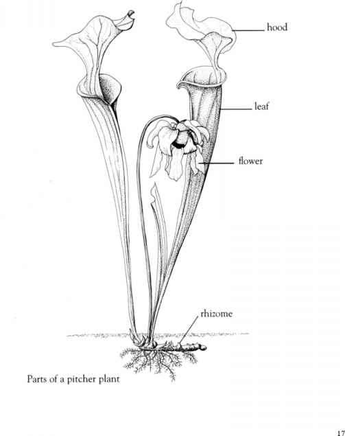 Pitcher Plant Diagram