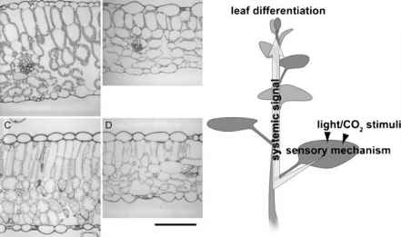 Leaf Cell Acclimation Light
