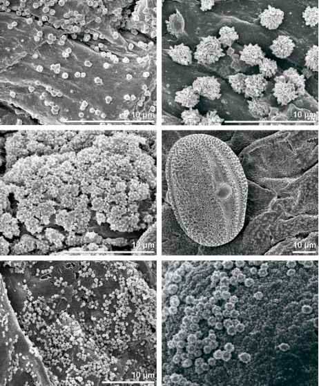 Pollen Grains Plants