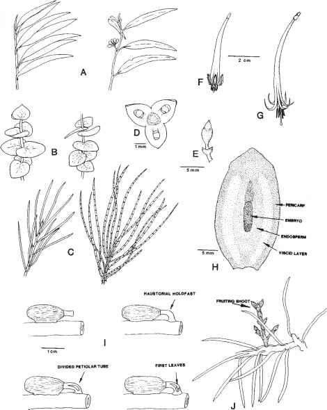 Floral Diagram Sapota
