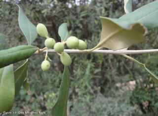 Olea Ferruginea