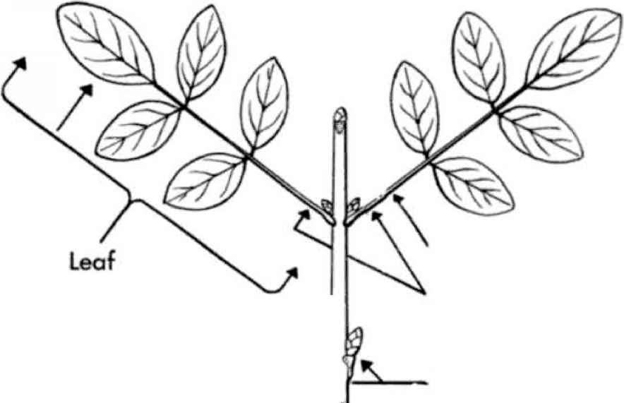 broadleaved plants with opposite compound leaves small tree