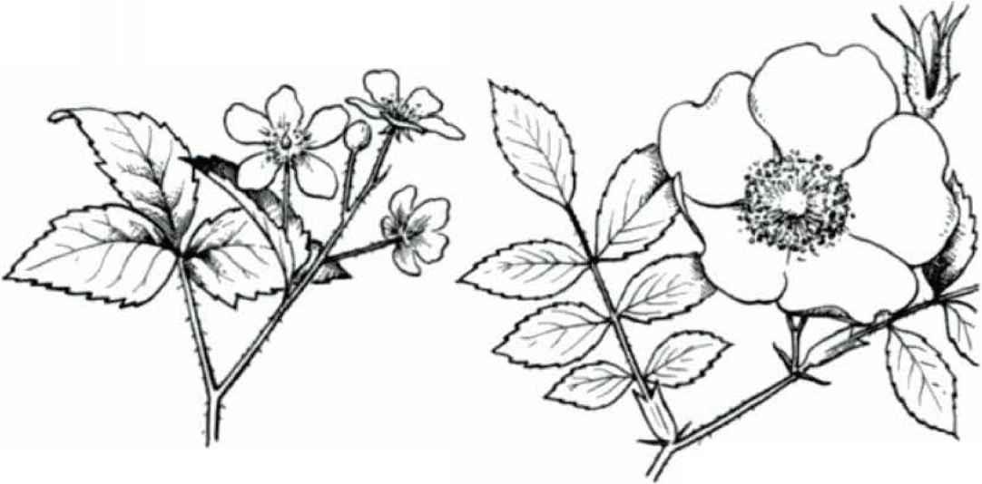 Double Compound Leaf Alternate Double Compound Leaf