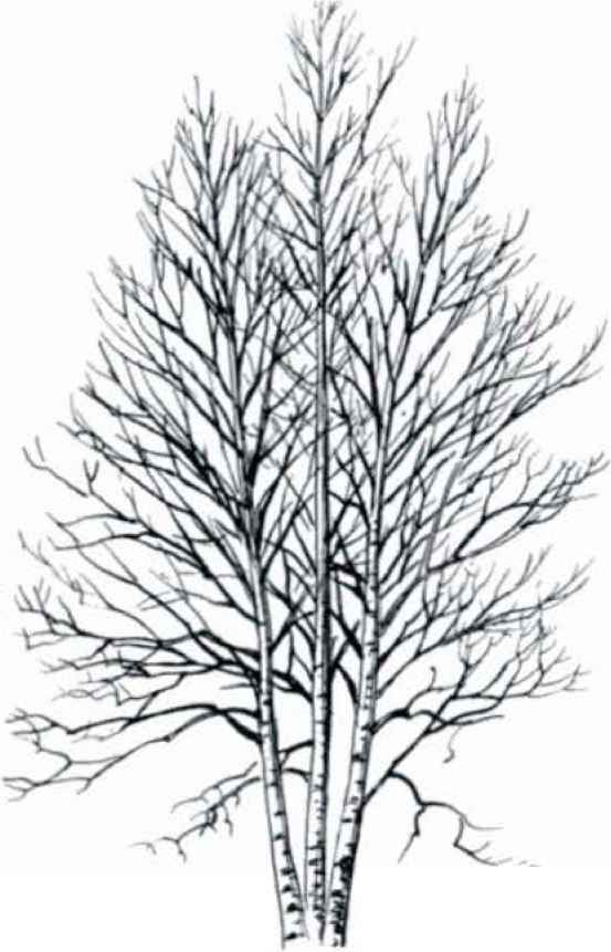 Maple Tree Black And White Drawing Smute Vrba Tree Maple