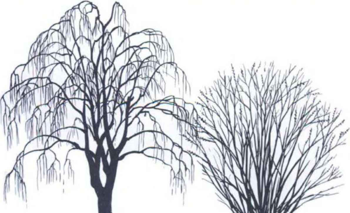 Willow Tree Silhouette Galleryhipcom The Hippest