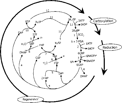Rubisco Mechanism