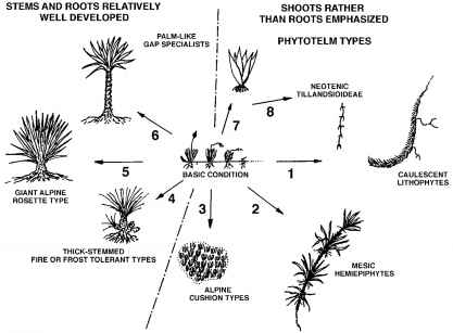 Info tillandsia usneoides medicinal plants archive schematic diagram illustrating plausible evolutionary relationships among eight derived body plans and the more fundamental rhizomatous architecture ccuart Image collections