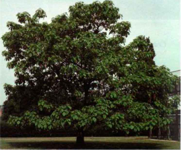 Catalpa Uses Medicinal